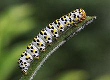 catpillar